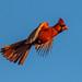 Male+Cardinal+in+Flight