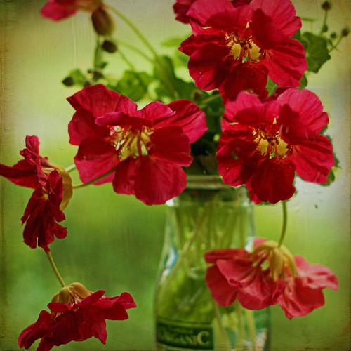 flowers texture leaves blossoms jar buds blooms redflowers nasturtiums edibleflower teastained mbgrigby floraballa organiccreambottlefrombreadandcircusakagarlicsmasher