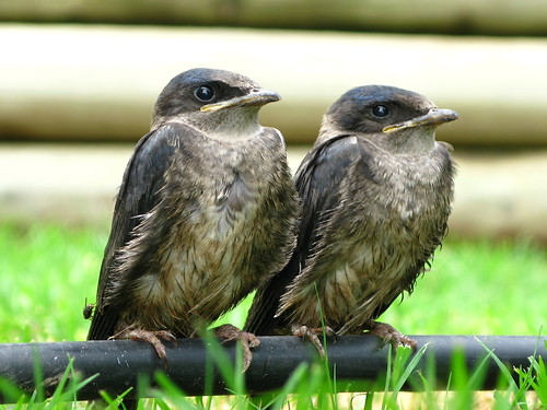 Fly Purple Martin Fledglings!