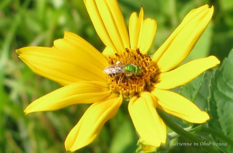metallic green bee on sunflower - photo by adrienne Zwart