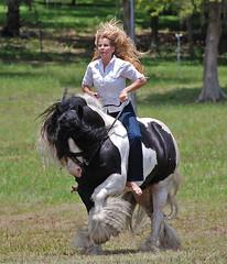 Gypsy stallion D'Jango Jazz (The Pelton Vanners Gypsy Vanner Horses) Tags: horses horse bareback cob gypsy django pelton tinker vanner ridinghorses gypsyvanner gypsyhorse gypsycob gypsystallion djangojazz