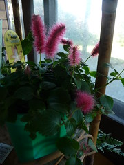 """Acalypha Reptans """"Stephie"""""""
