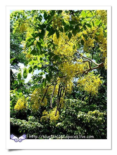 090627台北市立動物園08_園區裡的阿勃勒