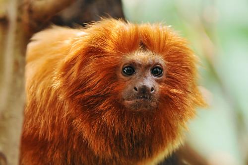 フリー画像| 動物写真| 哺乳類| 猿/サル| ゴールデンライオンタマリン/シシザル|       フリー素材|
