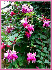 Gorgeous Fuchsia 'Garden News' in pale pink and magenta, growing at the Cactus Valley in Cameron Highlands, Malaysia