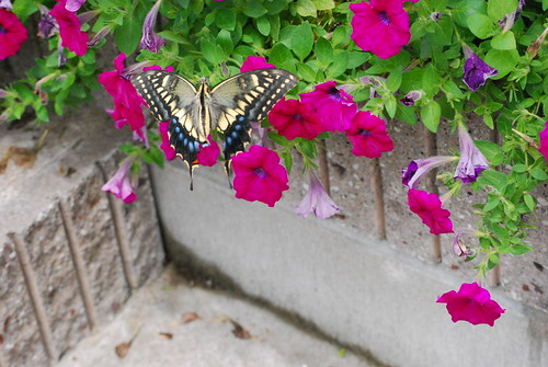 butterfly visits my petunias