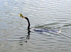 The Anhinga Makes a Catch! (Chris C. Crowley) Tags: priceless amazinganimalsandtheirantics onlythebestare floridaoutdoors naturalexcellence secretlifeofbirds abwaterbirds slbfishing