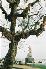 cây sung Đồng Hới