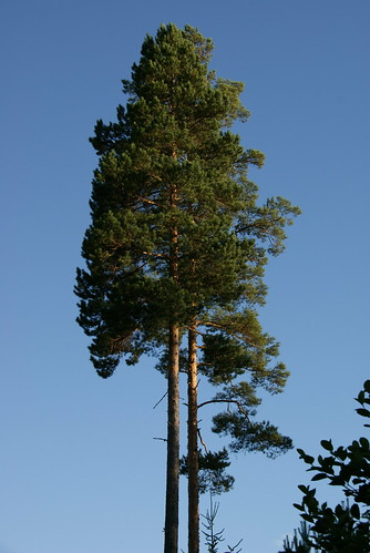 Typical tree (of Finland)