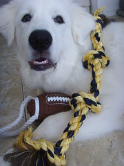 New Toys 6 (PolothePup) Tags: dog puppy great polo pyrenees greatpyrenees