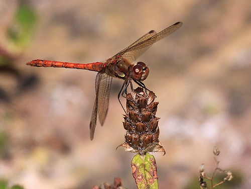 09-08-08 Common Darter