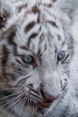 Baby Bandit (jennifernikon) Tags: nc whitetiger tigercub cnpa rockwellnc tigerworld babywhitetiger