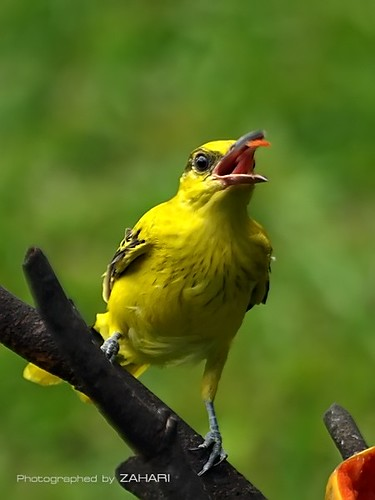 Yellow bird eating by Zahari Photography.