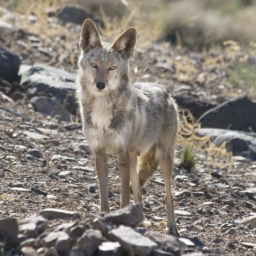 Mama Coyote