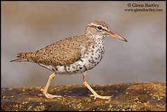 Spotted Sandpiper - 02 (Glenn Bartley - www.glennbartley.com) Tags: bird birds animal animals outdoors photography coast ecuador wildlife environmental aves majestic picturesque birdwatching animalia avian animalsinthewild colorimage beautyinnature ennvironment colourimage glennbartley