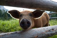 Dolomiti 062 (stijn) Tags: pig dolomiti südtirol altoadige 15favorite sdtirol naturparkfanessennesprags faneshutte