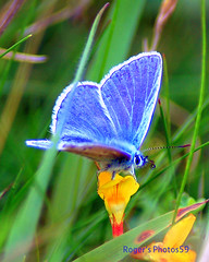 Blue on Yellow against Green (Roger's Photos59) Tags: blue wildlife butterflies colorphotoaward rogersphotos59 saariysqualitypictures mygearandmepremium mygearandmebronze mygearandmesilver mygearandmegold mygearandmeplatinum mygearandmediamond