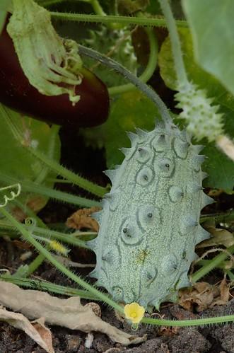 Cucumis metuliferus | Stekelaugurk - Kiwano - Horned melon