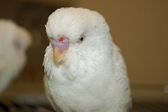 After (Dave Womach) Tags: animal hospital orlando vet east ill nostril budgie nikko sick bacteria lexi parakeets budgies veternarian infection discharge bacterial cere infenction