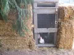 IMG_2471 (Karma Creek Farm) Tags: chickens ducks chicks guineafowl