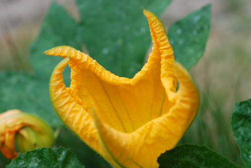 Pumpkin Flower