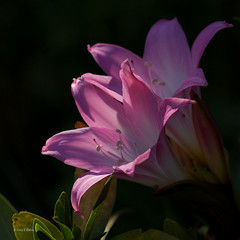 Highlights (Cory Dalva) Tags: california pink flowers light flower macro nature nikon afternoon lily bokeh marin amaryllis soe belladonna 105mm d90 bej mywinners abigfave perfectangle ubej