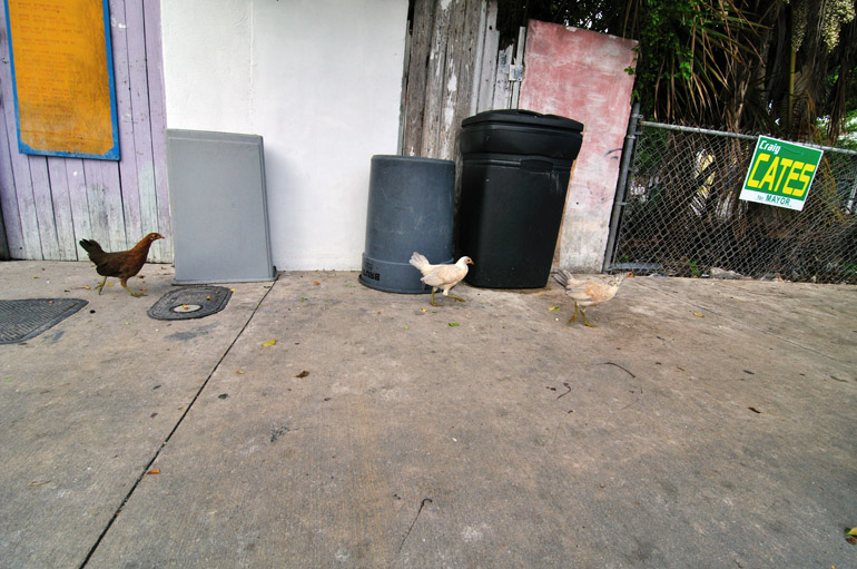 chickens_0175