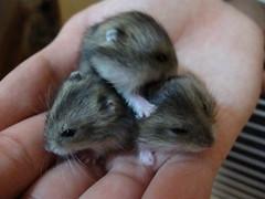 Let me get down (germaines) Tags: babies hamsters