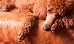 [フリー画像] [動物写真] [哺乳類] [イヌ科] [犬/イヌ] [スタンダード・プードル]      [フリー素材]