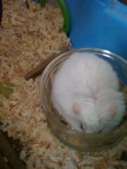 Took The Liquid (stephenamp) Tags: pets animals took hamsters