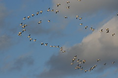 Snow Geese On The Move (rjsfoto) Tags: delaware snowgeese bombayhook
