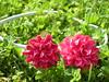 Fucsia blossoms headband (paz_oconnor) Tags: pink flower spring purple flor ponytail fucsia headband kanzashi fabricflower
