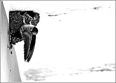 Rondini (Pachibro Portfolio) Tags: bird canon eos nest swallow nido uccello volatile rondine 400d canoneos400d pasqualinobrodella pachibroportfolio pachibro