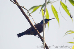Purple Sunbird (Nectarinia asiatica) male (tomstory) Tags: purple sunbird