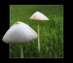 Peekaboo.... (Salland...) Tags: mushroom photoshop canon out mushrooms peekaboo border a520 over powershot edge frame peeking effect rand paddestoel paddo