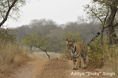 ADS_000007496 (dickysingh) Tags: wild india outdoor wildlife tiger bigcat aditya ranthambore singh ranthambhore dicky naimal adityasingh ranthamborebagh theranthambhorebagh wwwranthambhorecom