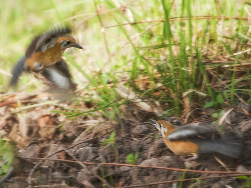 Fighting for territory : Orange headed Thrush