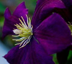 Color me purple (Houry Photography -on/off) Tags: flower photography dof purple details clematis houry canon7d houryphotography