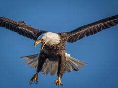 An Angry Bird (Vic Zigmont) Tags: wildlife birds eagle raptor eaglecloseup eagleinflight birdinflight