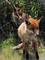I see a rabbit!! (johnmuk) Tags: summer nature animals june canon bwc mammals 2009 naturelovers britishwildlifecentre sx10