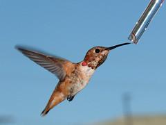 Jul 13 09 (EdwardKT) Tags: hummingbirds ektfav 365friends