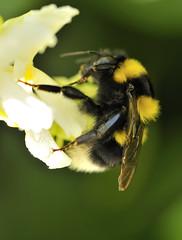 WORKER (Skizzoframe) Tags: flowers black macro colors nikon sigma natura curioso 150 giallo fiore nero curiosita particolare naturalmente naturesfinest cromatico ravvicinato d700 sigmaitalia