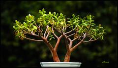 Fibonacci Tree (*monz*) Tags: brown plant tree green canon garden phi bokeh jadeplant fibonacci fractals 1618 moneyplant goldenmean goldensection 200mm divineproportion f28l monz friendshiptree 1sqrt52