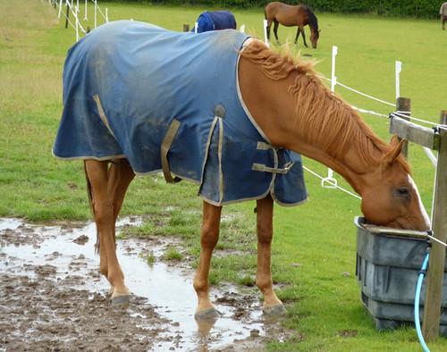 Chestnut horse in the rain