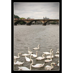 Prague River Swans (Mike G. K.) Tags: old bridge lake castle water architecture canon river geotagged prague cathedral cloudy bridges praha medieval explore swans czechrepublic jpg frontpage vltava praguecastle prazskyhrad saintvitus palecolors geo:lat=50081261 geo:lon=14412871 mikegk:gettyimages=submitted
