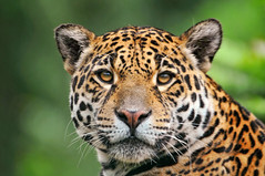 Jaguaress looking at me (Tambako the Jaguar) Tags: wild portrait france cat zoo big nikon feline head kitty jaguar onca felid d300 panthera pantheraonca amnville