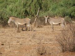 Zebra with 5 legs . . . (rgrant_97) Tags: africa animals nationalpark kenya wildlife safari zebra samburu grevys quénia
