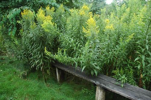 Solidago, Goldenrod, Brine Garden