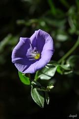 Blaue Mauritius (Simpel1) Tags: berlin germany pflanze nikond70s blume blüte blauemauritius