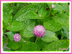 Pink-coloured Gomphrena globosa #2